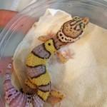 ベルアルビノ Gecko's etc